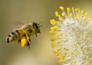 Pčele prikupljaju peludna zrnca i istodobno im dodaju nektar i tvari svojih žlijezda oblikujući granule veličine okruglog zrna riže.