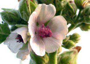 Ljekovito bilje koje smiruje kašalj - Bijeli sljez