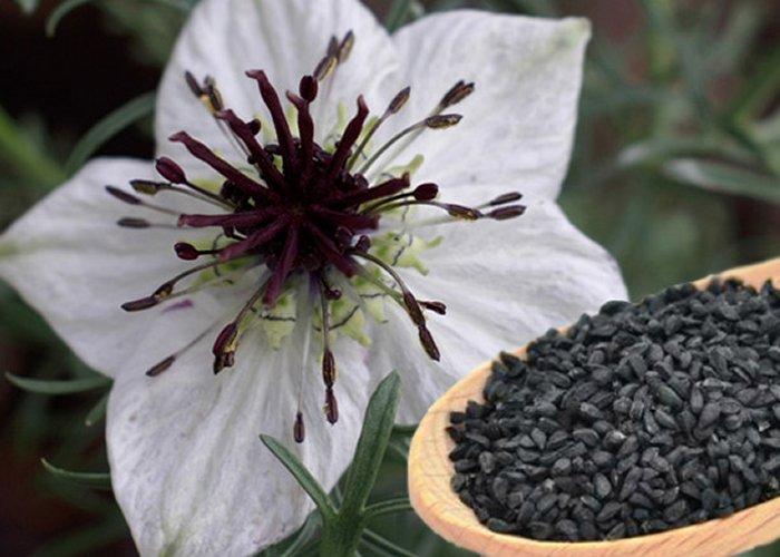 Dio biljke koji se koristi u ljekovite svrhe su sjemenke.